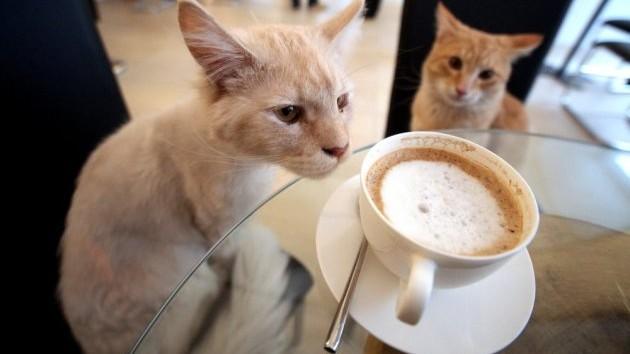 """""""Cat cafe"""" ajunge și la Paris!"""