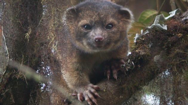 A fost descoperit un nou animal carnivor: Olinguito
