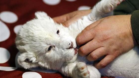 (foto,video) Primele imagini cu puiul de leu alb născut la Belgrad