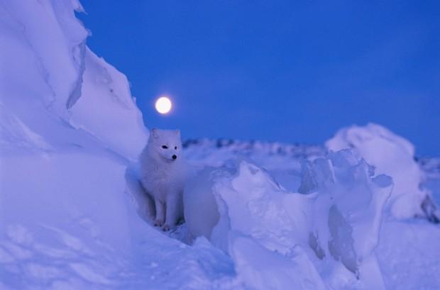 Norbert Rosing a suprins o vulpe polara, care traieste in Manitoba - Canada. PC: travel.nationalgeographic.com