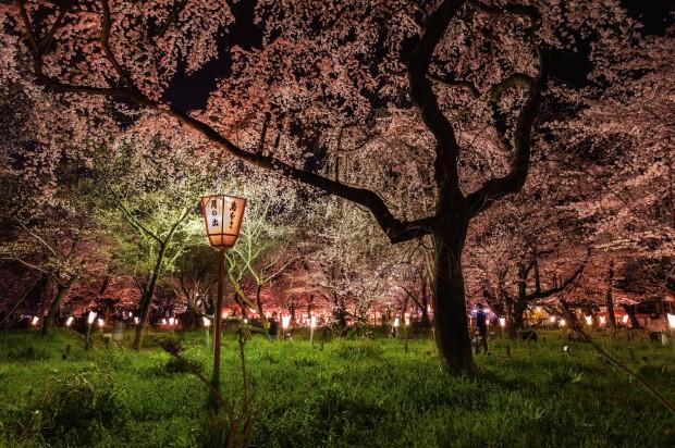 Cam asa arata ciresii infloriti in Japonia. Fotografia a fost realizata de Diane Cook si Len Jenshel. PC: travel.nationalgeographic.com