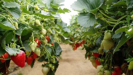 Polenizarea de către albine produce căpșuni mai mari