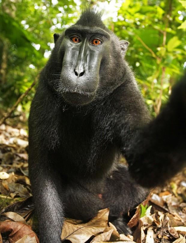 Selfie-ul maimuței. PC: wikipedia.org