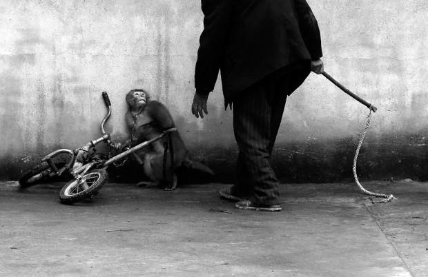 Primul loc la categoria Natură, Maimuță antrenată pentru circ, de Yongzhi Chu.