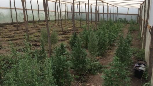 Un tânăr a fost reținut pentru că a închiriat o casă într-un sat și creștea plante de cânepă în seră
