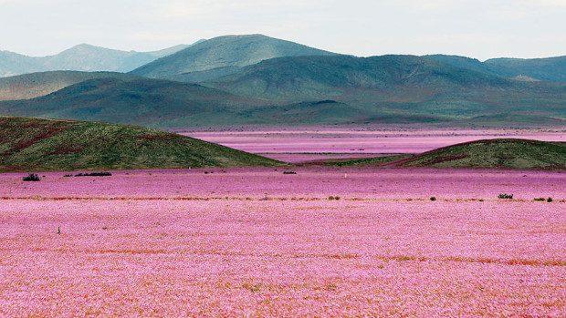 (foto) Iată ce se întâmplă atunci când cade ploaia în cel mai secetos deșert de pe Pământ