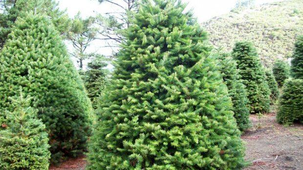 33 de mii brazi vor fi scoși spre vânzare în sezonul sărbătorilor de iarnă