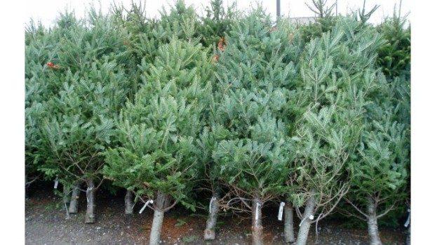 Moldsilva a început tăierea pomilor de Crăciun: Înălțimile variază de la 1 la 6 metri