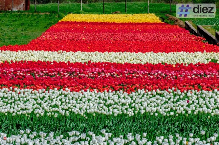 (foto) Afacere de milioane de miresme la Bardar. Cum arată cea mai mare grădină de lalele din Moldova