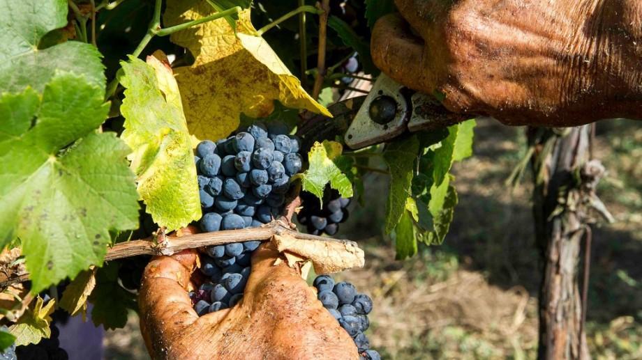 """Din acești struguri se va """"naște"""" primul vin! Combinatul de vinuri """"Cricova"""" a început culesul roadei"""