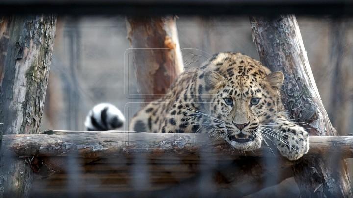 (foto, video) Una dintre cele mai rare specii de feline poate fi văzută acum la grădina ZOO din Chișinău