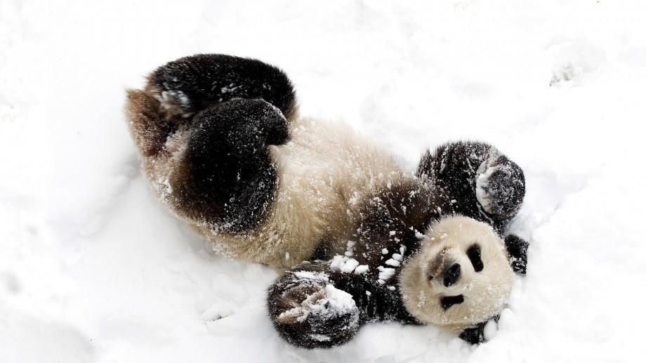 """(video) Viral. Reacția amuzantă a unui urs panda care face """"cunoștință"""" cu un om de zăpadă"""