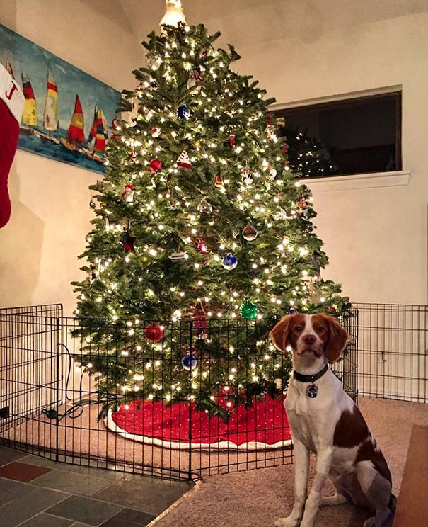 protecting-christmas-tree-from-dogs-cats-pets-16-585a72c83d944__605