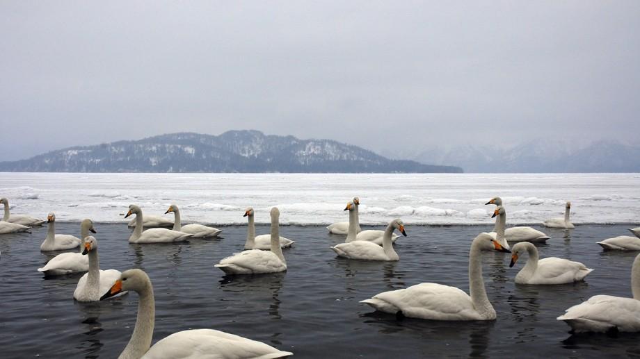 (video) Un stol de lebede s-a adăpostit pe lacul de acumulare Ghidighici