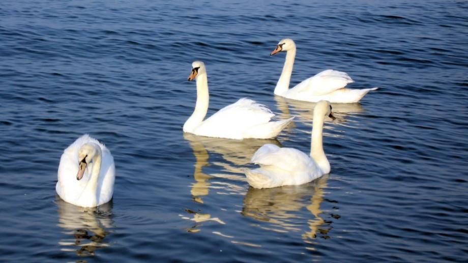 """(video) Păsările călătoare se simt bine în Moldova. Câteva sute de lebede """"se plimbă"""" pe râul Nistru"""