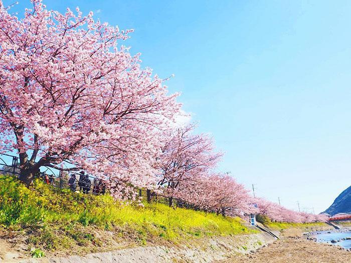 kawazu-cherry-blossoms-shizuoka-japan-2