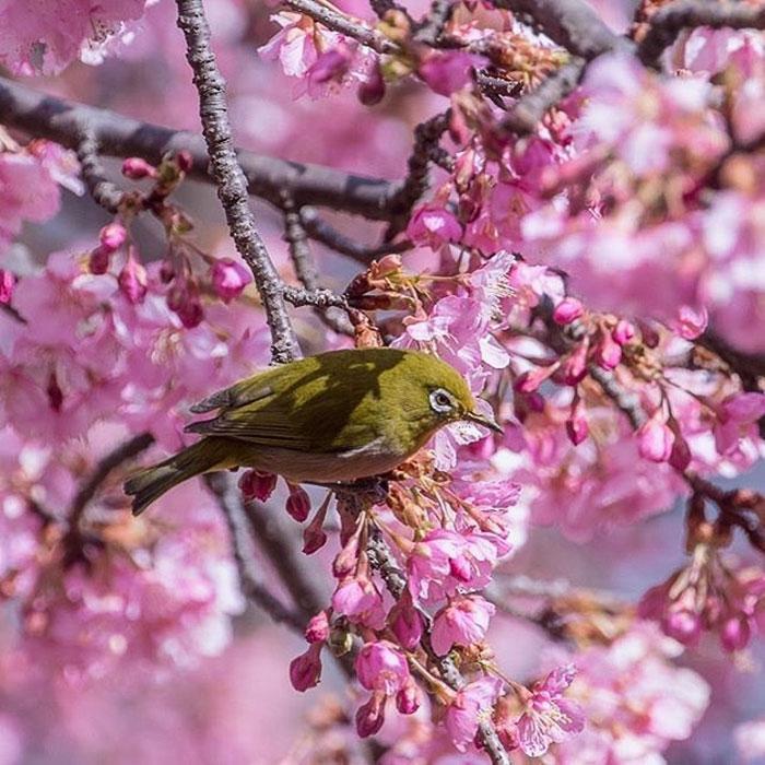 kawazu-cherry-blossoms-shizuoka-japan-6