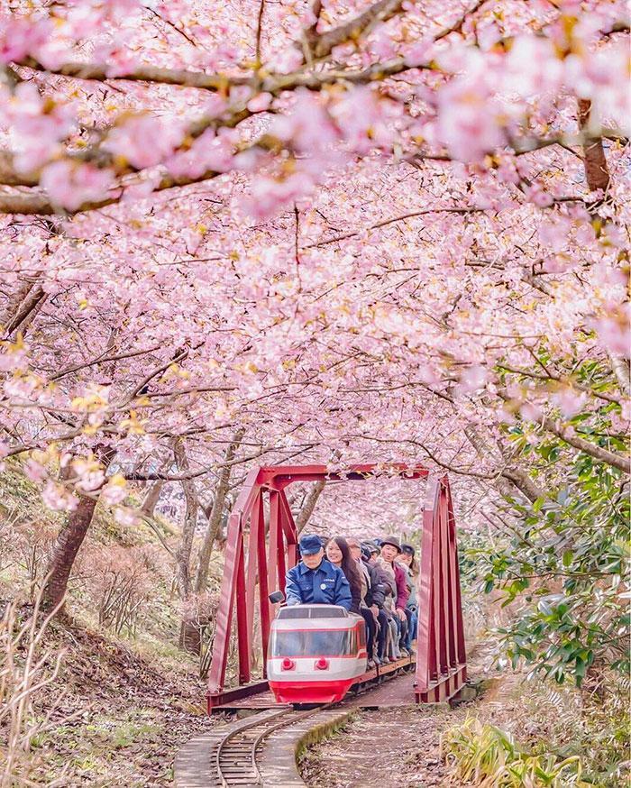 kawazu-cherry-blossoms-shizuoka-japan-8