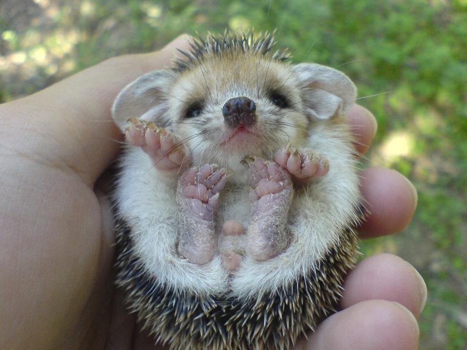 baby_hedgehog
