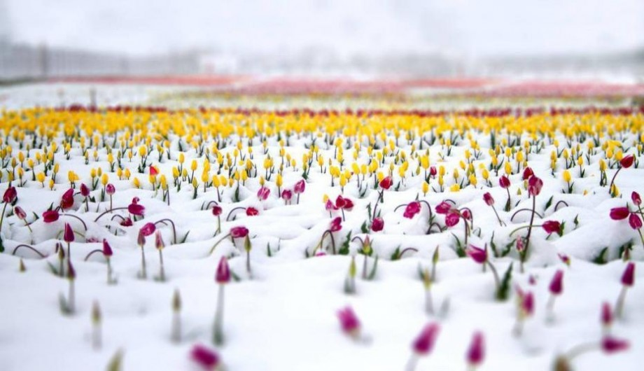 (foto) Cum arată lanul de lalele din Bardar acoperit de zăpadă