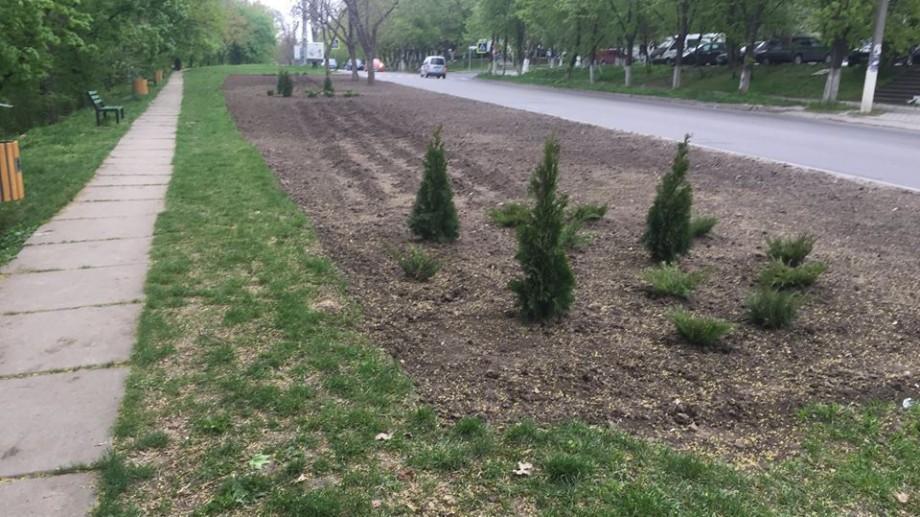 (foto) La câteva zile de la plantare, au fost furați trei puieți de tuia de pe aleea din strada Florilor