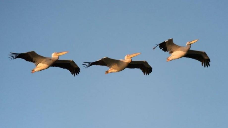 (foto) Oameni și locuri dragi: Revenirea pelicanilor la lacul Beleu