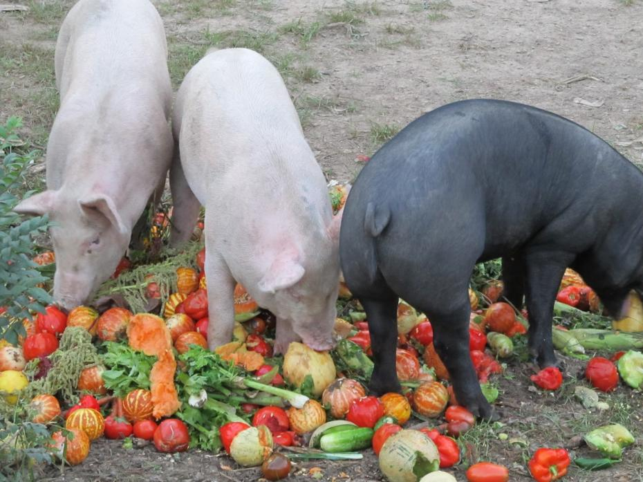 Pigs eating compost (8)