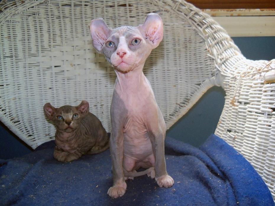Photo Credit: sphynx-cattery.com