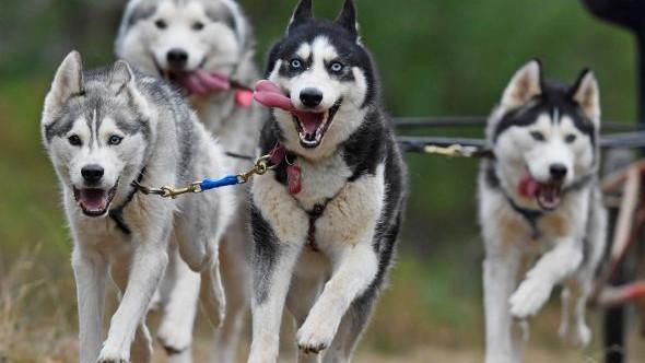 """Actor din """"Game of Thrones"""" îi îndeamnă pe fani să nu mai cumpere câini husky"""