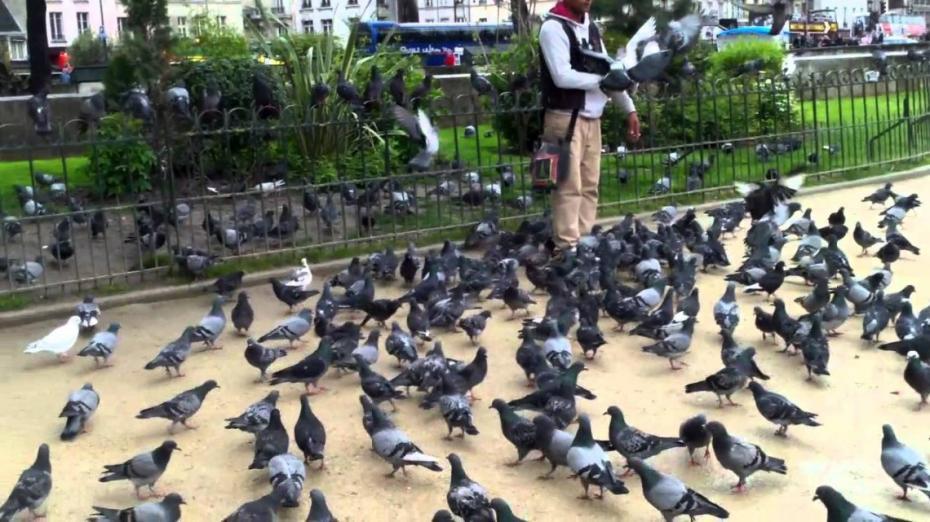 Prădători pe cerul parizian. Cum luptă Capitala franceză cu porumbeii
