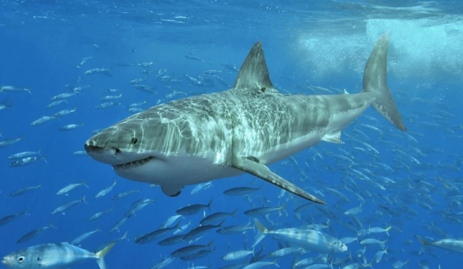rechin-alb