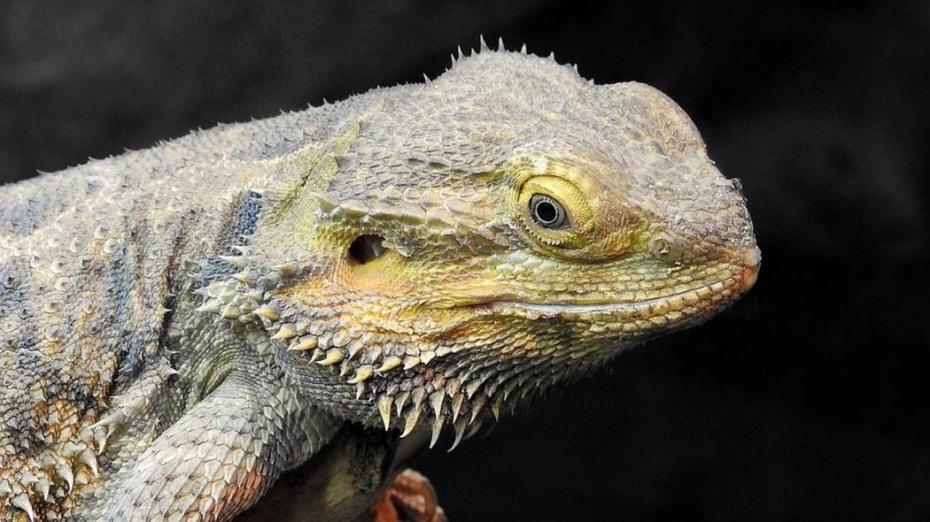 iguana are două penisuri)
