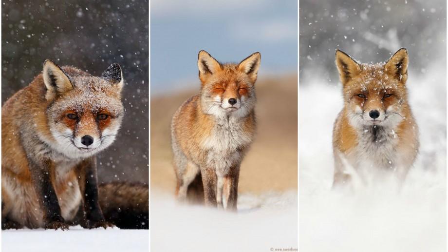 (foto) O fotografă din Olanda portretizează emoțiile seducătoare ale vulpilor care se distrează în zăpadă