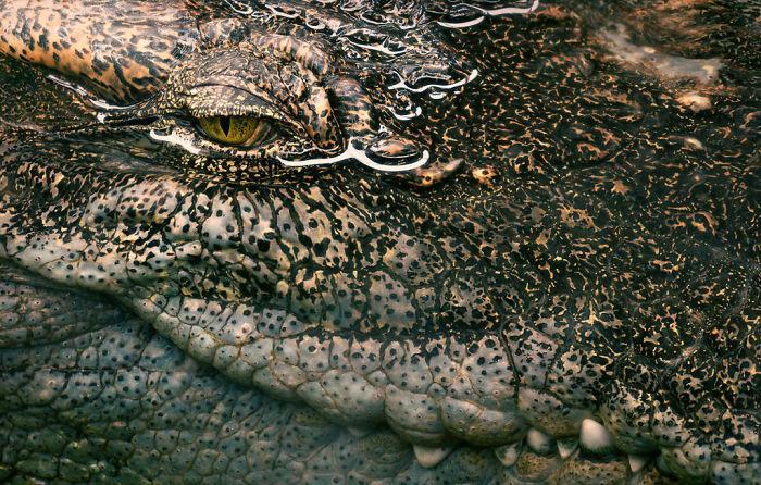 siamese-croc-1024x652-5a4603272a5ed__700