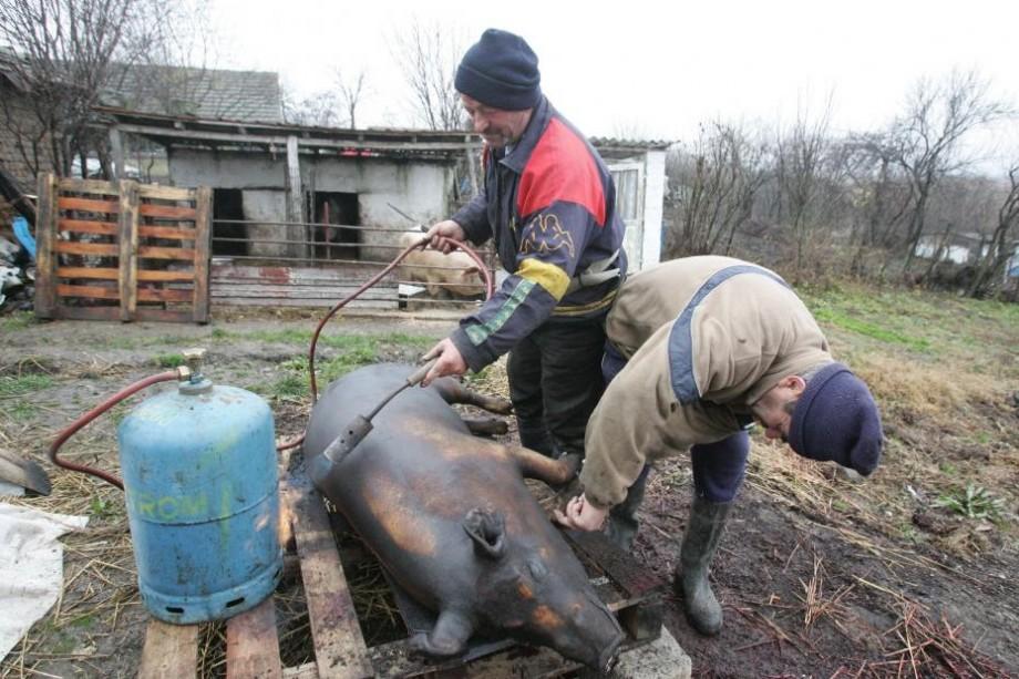 (foto) Locuitorii comunei Cărpineni riscă să rămână fără porcul de Crăciun. A izbucnit un focar de pestă porcină africană