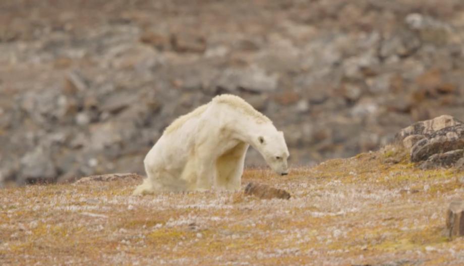 """(video) """"Filmam și lacrimile curgeau pe obraz"""". Animalele din zonele arctice suferă din cauza schimbărilor climatice"""