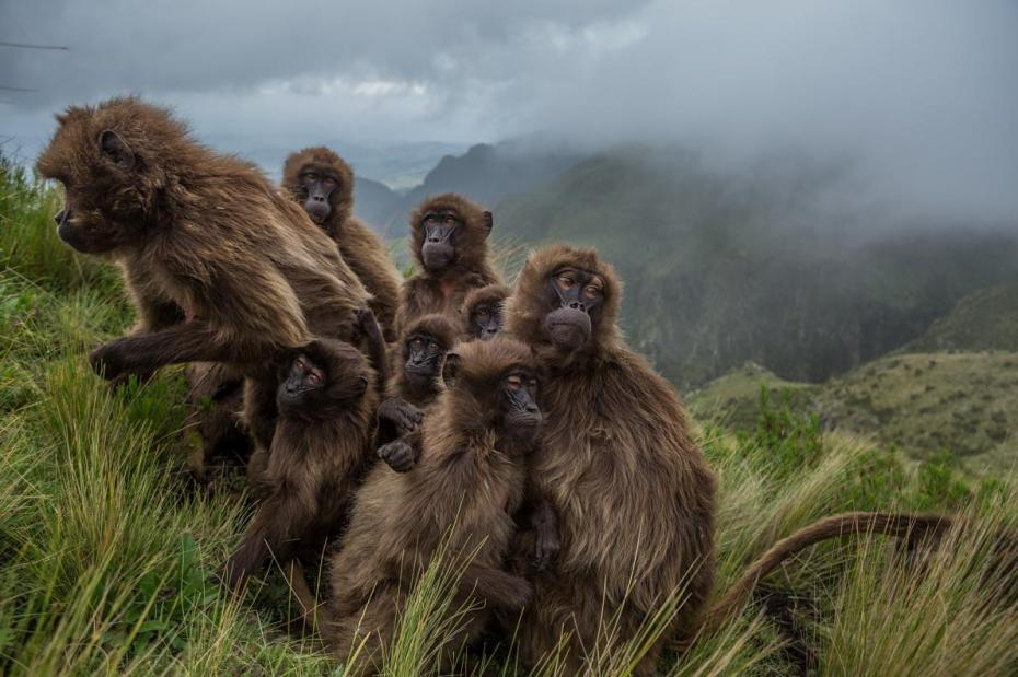 16-best-09-gelada-baboons-huddle-ethiopia-guassa-grass.adapt_.1190.1