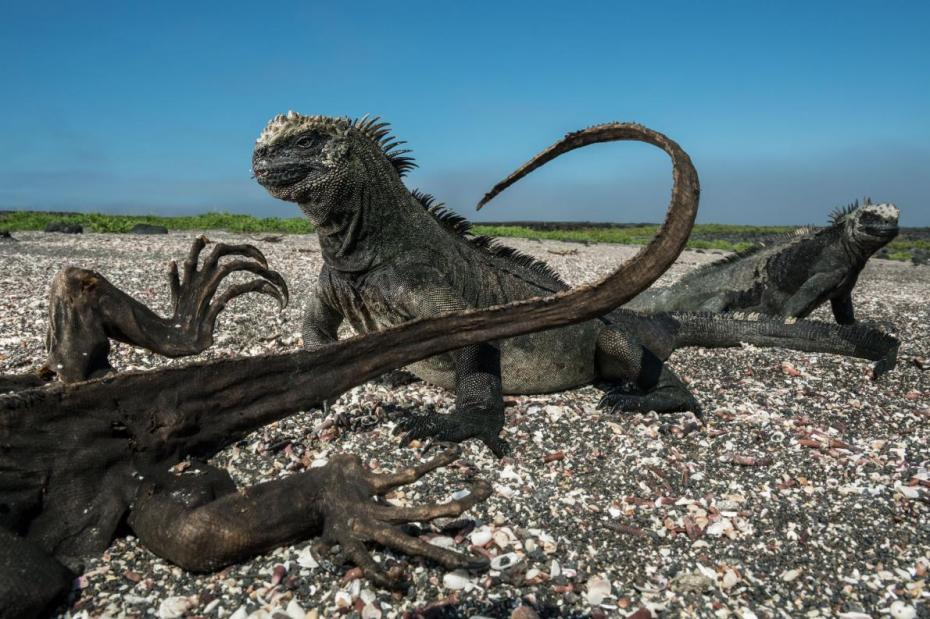 17-best-galapagos-nature-animals-marine-iguanas.adapt_.1190.1