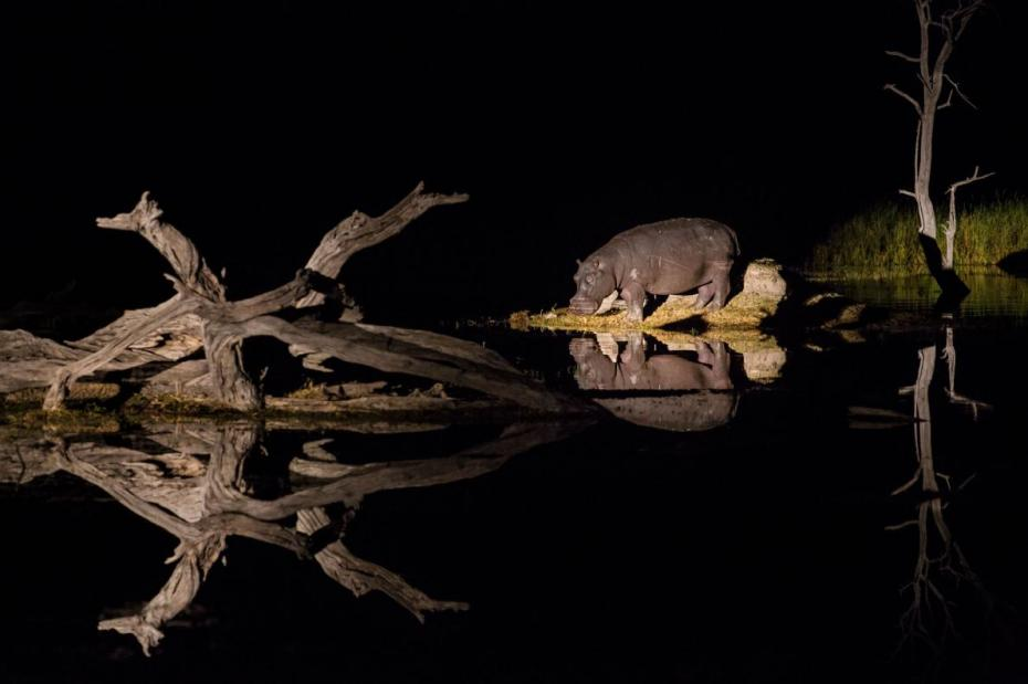 25-best-okavango-delta-hippo-grazing-night.adapt_.1190.1