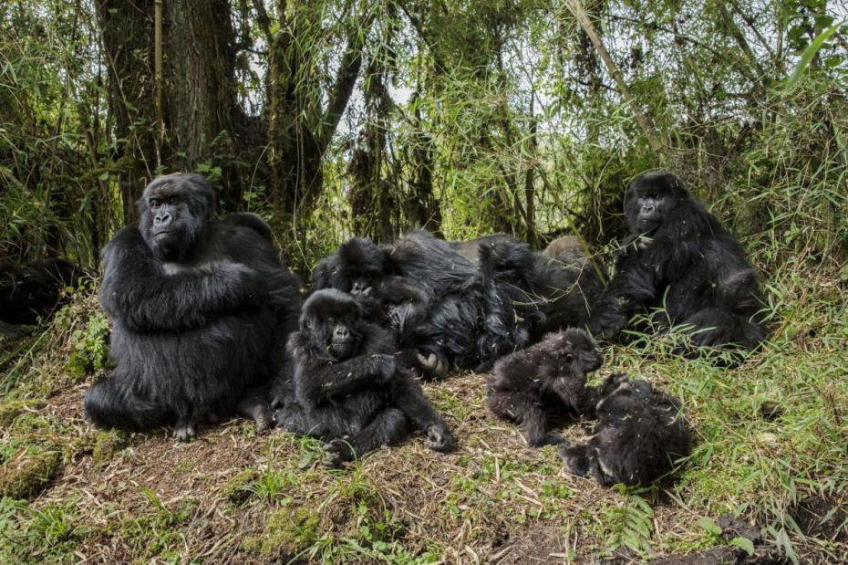 49-best-fossey-gorillas-not-exist.adapt_.1190.1