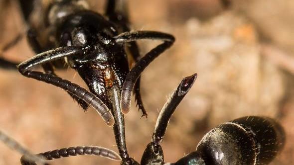 """(video) Furnicile """"paramedici"""". Cum își tratează acestea camarazii și îi salvează de la moarte după ce sunt atacați de termite"""
