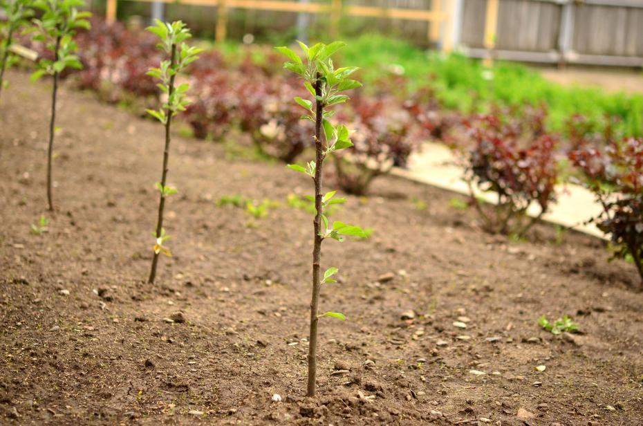 pomi-in-primul-an-de-la-plantare