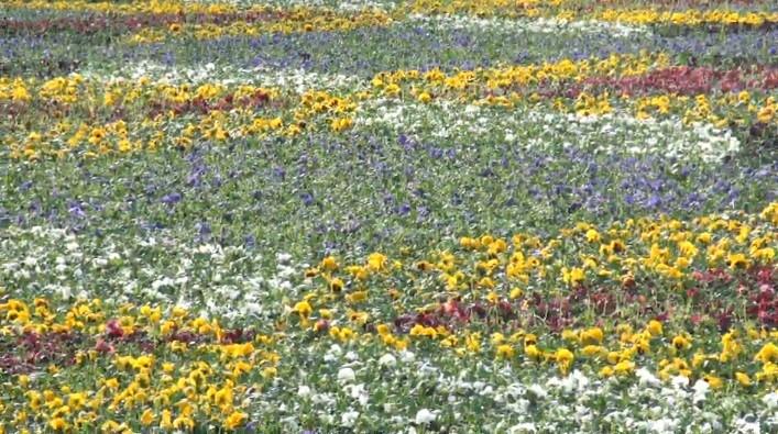 (foto) Primăria Chișinău a dăruit locuitorilor Capitalei un covor de flori de aproape două milioane de lei