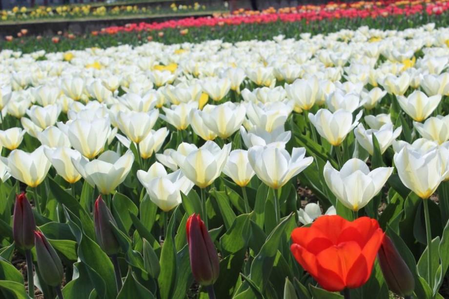 (foto) Covorul multicolor din Bardar. Cum arată în 2018 cea mai mare grădină de lalele din Moldova