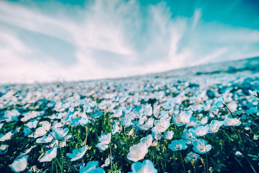 flori albastre2