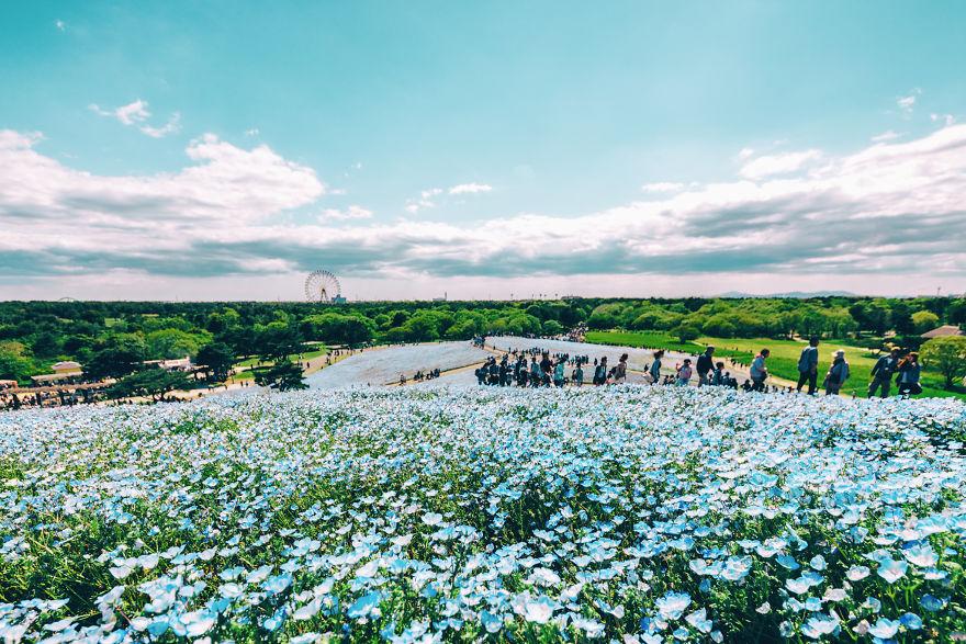 flori albastre4