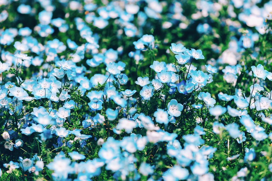 flori albastre5