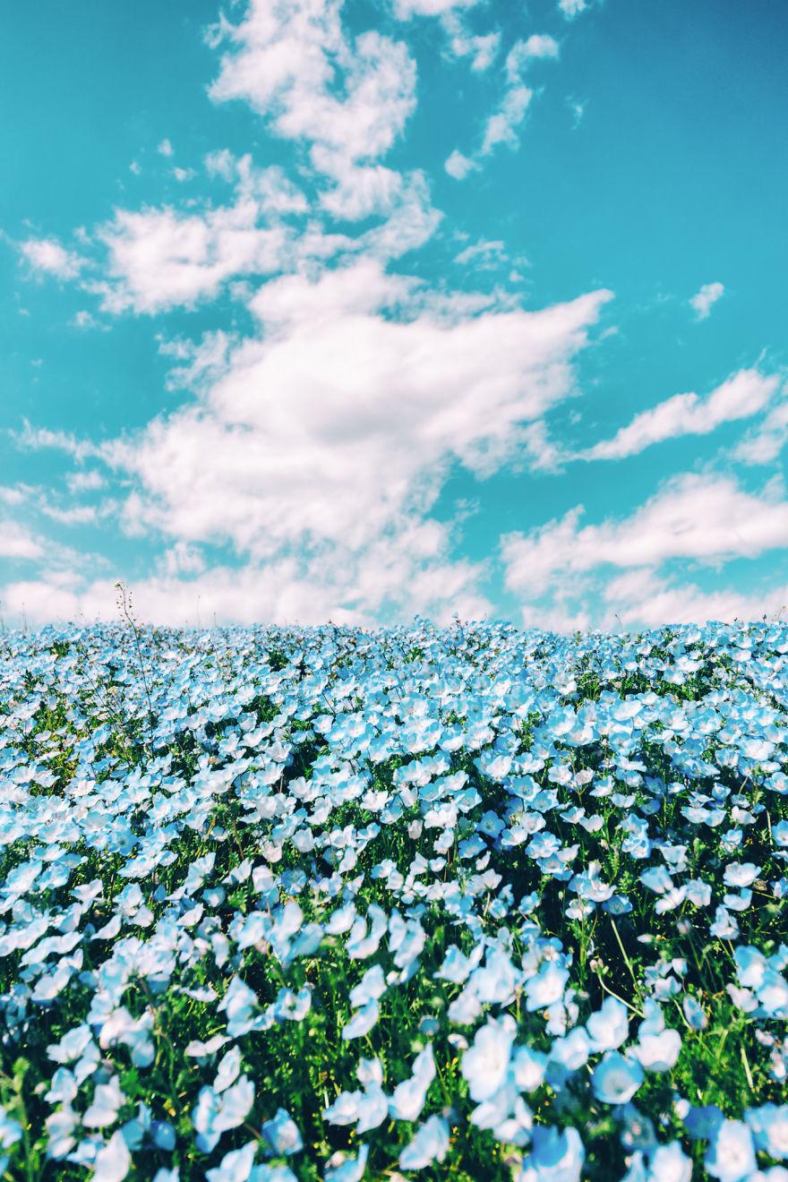 flori albastre7