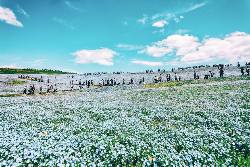 flori albastre8
