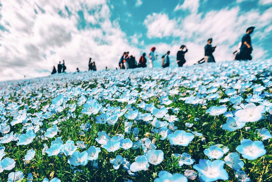 flori albastre9